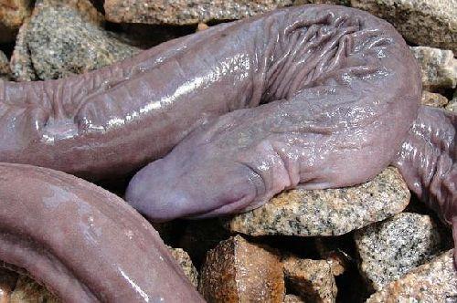 șarpele are două penisuri tratament cu probleme de erectie