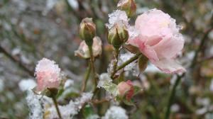 trandafiri ninsi