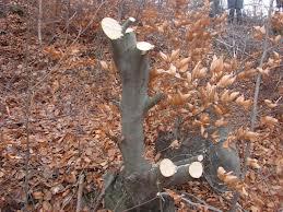 lemn furt