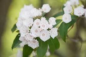 dafin floare