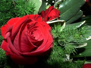 floaretrandafir