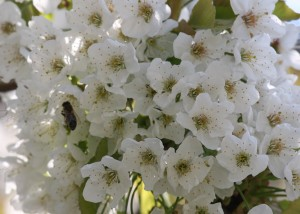 flori cires
