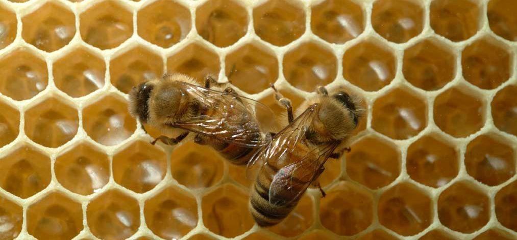 cum se vindecă cu miere varicoză
