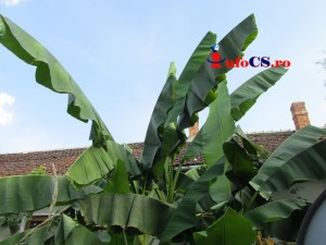 Banana de Banat (3)