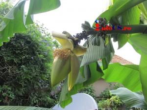 Banana de Banat (5)