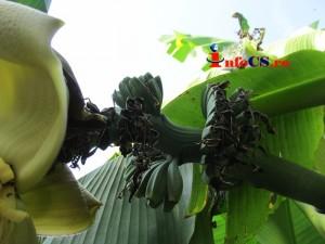 Banana de Banat (8)
