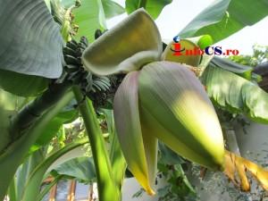 Banana de Banat (9)