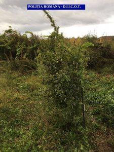 foto-cannabis-4