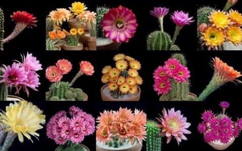 flori-cactus