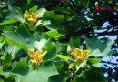 Simfonia lalelelor de copac de la Resita VIDEO