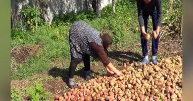 Producţie record de cartofi în acest an la Padina Matei și în satele din Clisura Dunării VIDEO