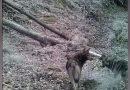 Lupi în Parcul Naţional Semenic – Cheile Carașului VIDEO