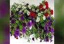 Cum să ai în permanență petunii pline de flori VIDEO