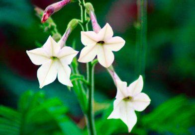 7 lucruri pe care nu le stiai despre regina noptii – floarea cu efecte nebanuite